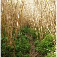 Bambusowy las w Mġarr ix-Xini.