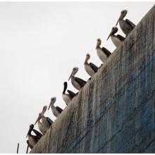 Los pelicanos.