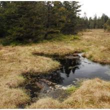 Górskie torfowisko, rezerwat przrody Jelení lázen, położone na wysokości 1075 metrów n.p.m.