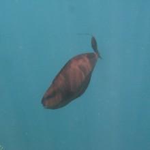 Niesamowity gatunek ryby wielkości 40 centymetrów, z dwiema 'wstążkami' na końcu płetwy.