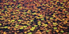 Piękne liście grzybienia.